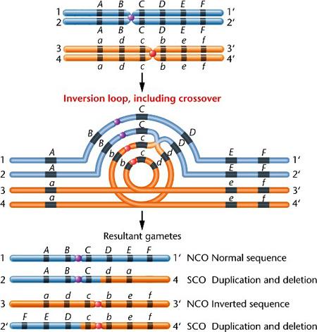 a körömféreg kromoszómáinak száma házi parazitaellenes szerek emberek számára