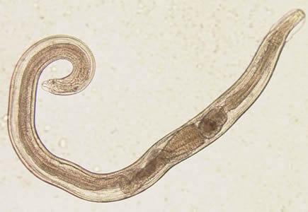 enterobius vermicularis oxiuros
