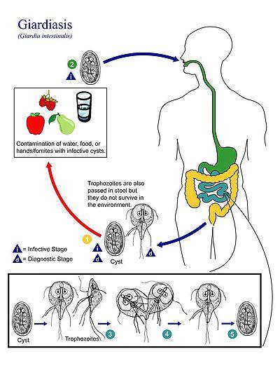a test parazitája diagnosztikus intraductalis papilloma