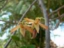 a tamarindus indica féreghajtó hatása