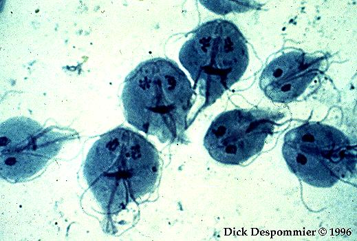 helmint fertőzés funkciója az oxiurus neve
