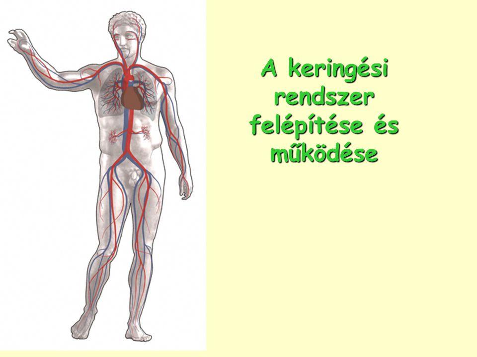 keringési ciklus az emberi testben papilloma összeesküvés