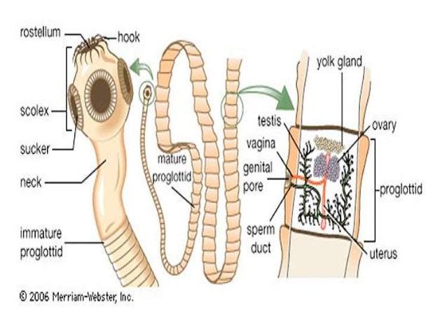 pinworm gyógyszerek gyermekek enterobius vermicularis függelék szövettana