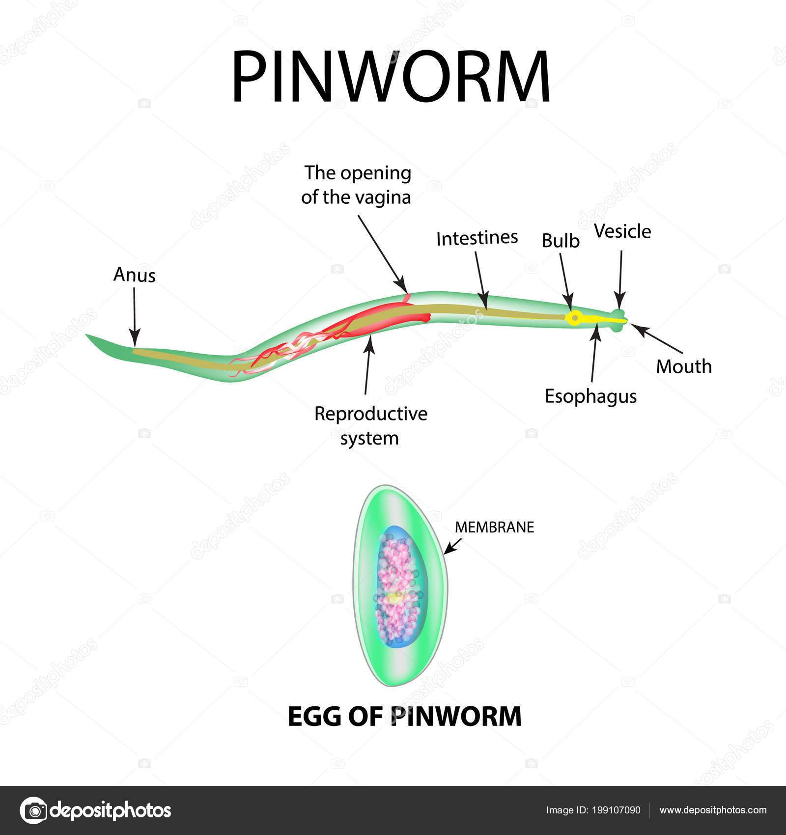 belajar terus biologi filum platyhelminthes
