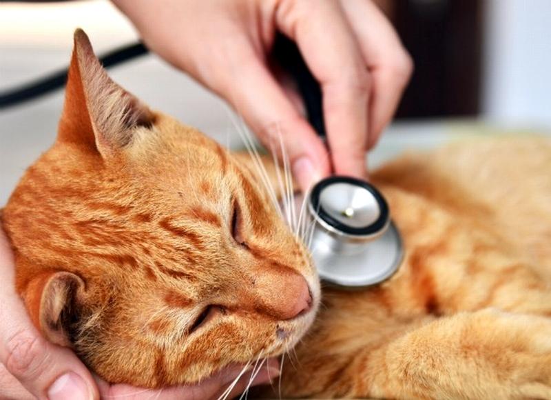 papilloma vírus macska gyomorrák története