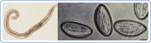Fajta pinworms, Étrend helminthiasis esetén