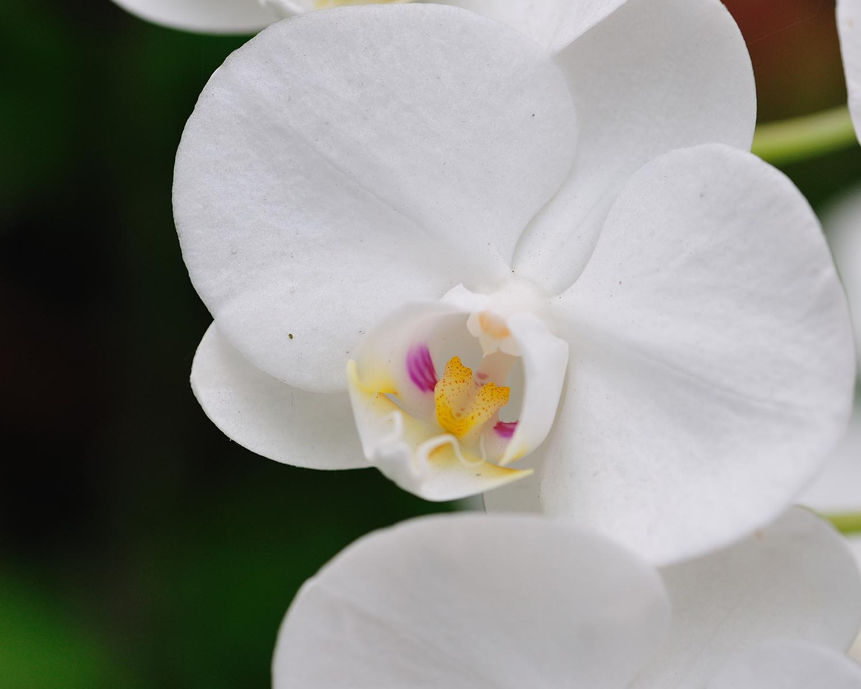 papilloma orrhid