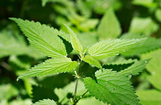 bél méregtelenítő gyógynövények az allergiás betegségek helmintikus kezelése