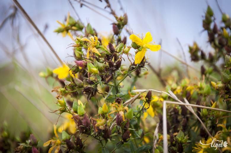 bél méregtelenítő gyógynövények