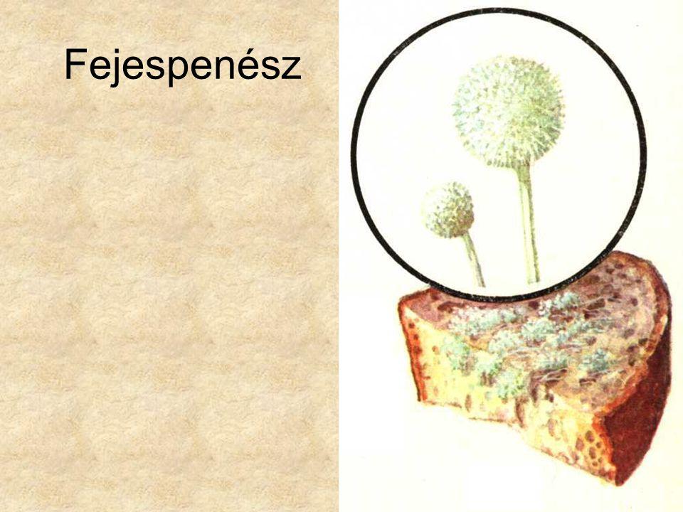 szaprofita parazita gombák hogyan kell kezelni a torok papillómáit
