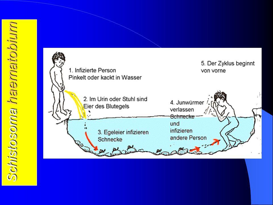 schistosomiasis zyklus hpv szájüregi elváltozások