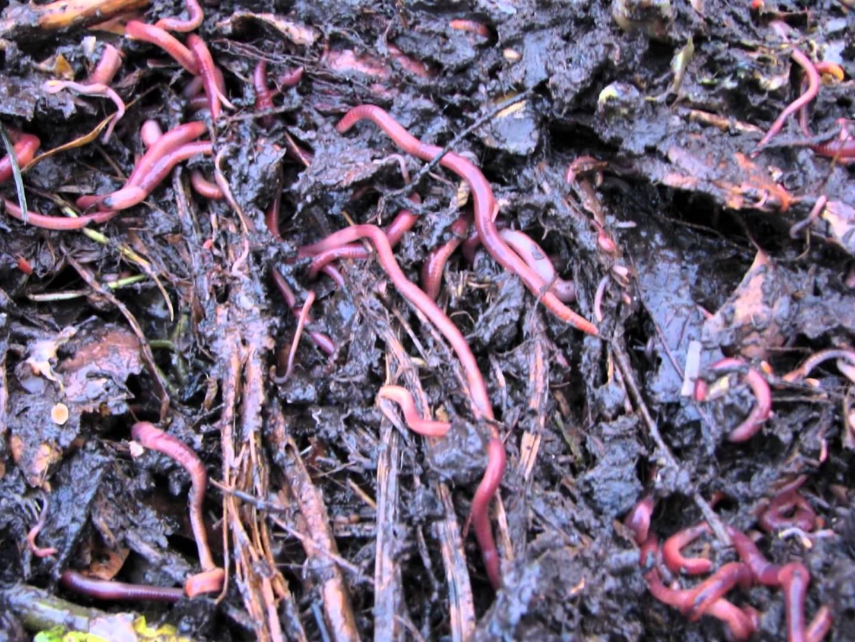 Őszi kalászos növények vetése előtt mérjük fel a talajlakó kártevőket! - Agrofórum Online