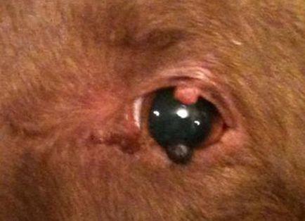 szemhéj papilloma kutyák hogyan működik az féreghajtó szer