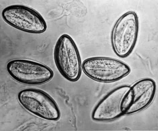 a papilloma parazita a testben