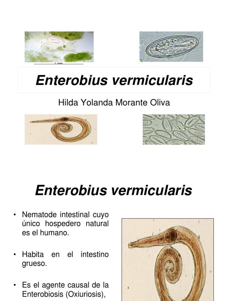 enterobius vermicularis hospedero féreg vastagbélgyulladás kezelése