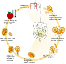 giardia lamblia parazita mi a galandféreg