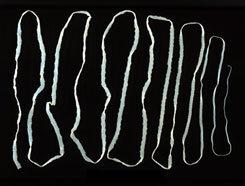 helminthiasis kórokozó
