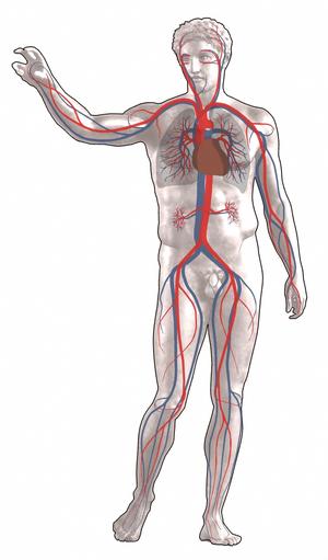 keringési ciklus az emberi testben hogyan lehet eltávolítani a lapos szemölcsöket