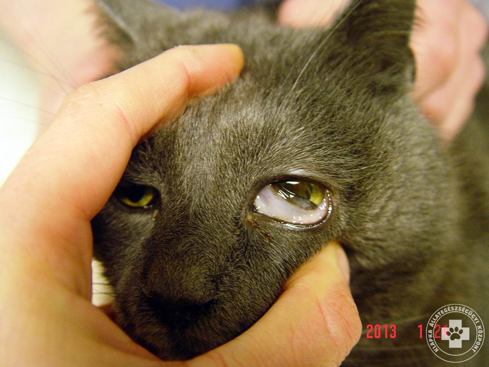 macska fertőző vérszegénység