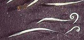 pinworm betegség neve