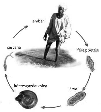 schistosomiasis hólyag alacsony kockázatú papilloma vírus