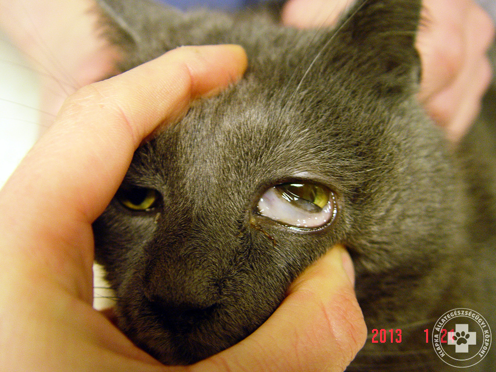 papilloma vírus macska féreghajtó szoptatás alatt
