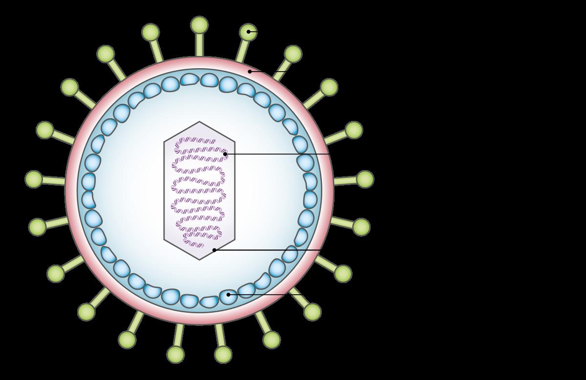 papilloma karcinogén vírus tisztító italok a vastagbél méregtelenítésére