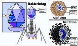 A vírusok általános jellemzése | A biológia alapjai tanító- és óvóképzős hallgatók számára