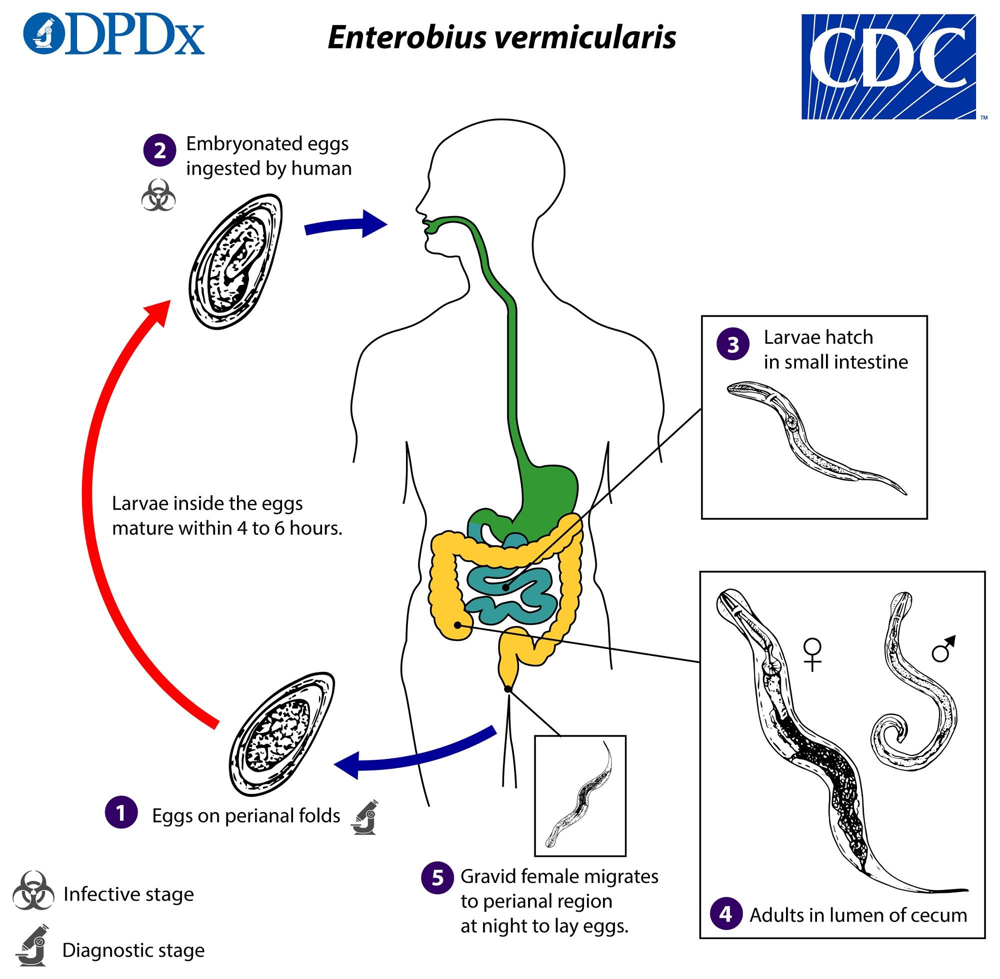 enterobius vermicularis biológia