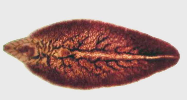 filo platyhelminthes trematoda A korbácsféreg féreg