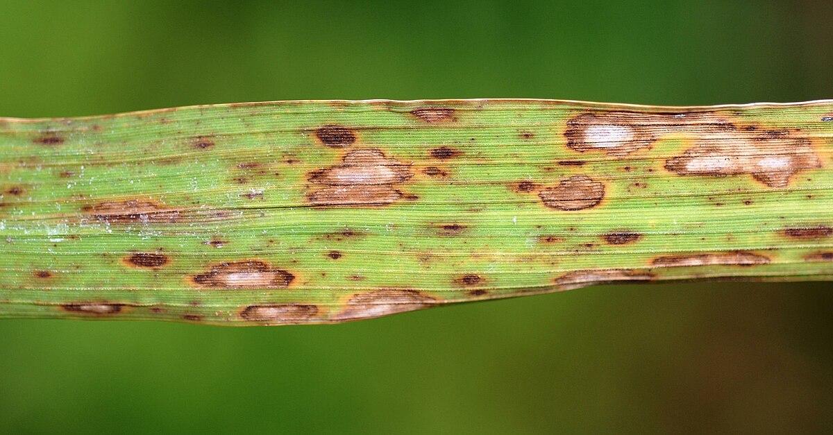 gyógymód parazitákra sült rókagombával