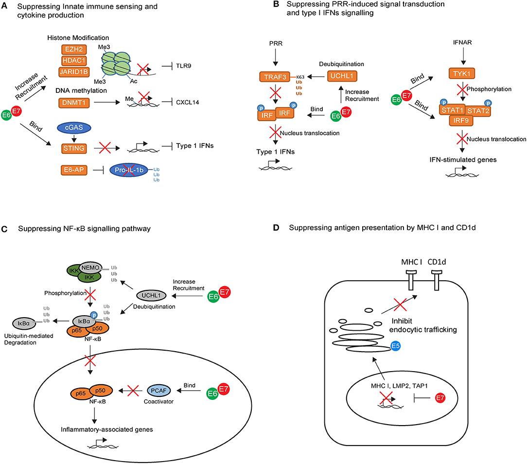 humán papillomavírus 16 típusú ncbi