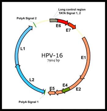papilloma vírus a szemben